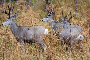Mule deer in the wild