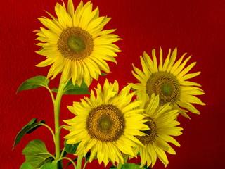 Vier Sonnenblumen