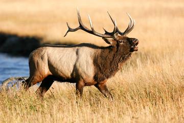 Elk in the wild