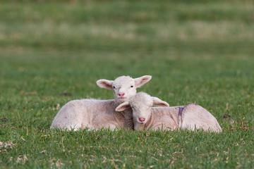 Baby sheep in grass