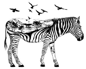 Hand drawn zebra for your design, wildlife concept