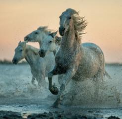 konie camargue działające na wodzie wschodu słońca