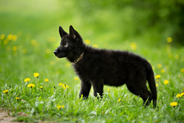 shepherd puppy of black colour. sitting on the lawn. looking to