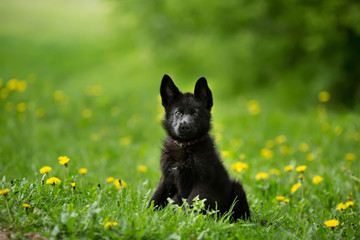 German shepherd puppy of black colour.