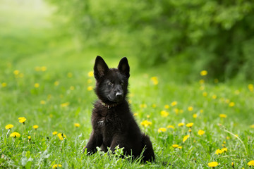 beautiful German shepherd puppy of black colour. sitting on the