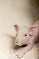 Pig at a factory