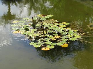沼と群生する蓮