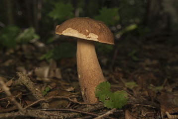 Boletus edulis in the forest. Edible mushroom