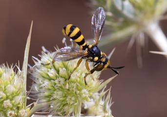 Abrachyglossum capitatum, Thick-headed Fly