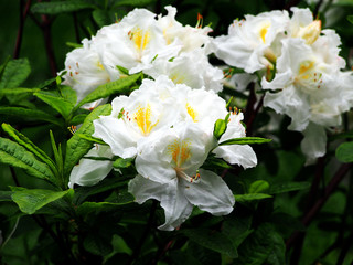 White Azalea, Rhododendron in the park, spring