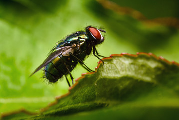 house fly on green leaf macro photography