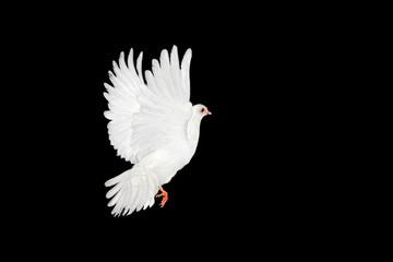 Foto En Lienzo - White dove flying on black