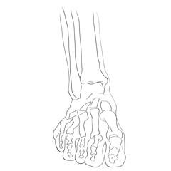 front view foot bones