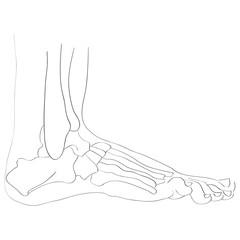 lateral view foot bones