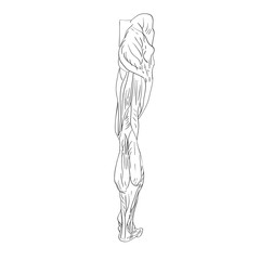 leg muscles back