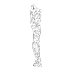 leg muscles front