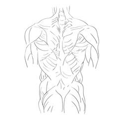 torso muscles back