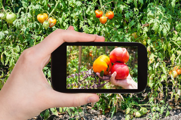 harvesting of tomatoes in garden on smartphone