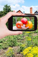 farmer photographs harvested ripe tomatoes