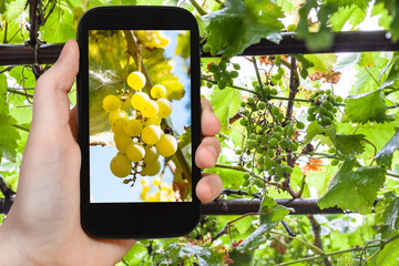 bunch of yellow grape in vineyard on smartphone