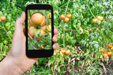 big tomato in garden after rain on smartphone