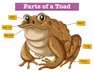 Diagram showing parts of toad