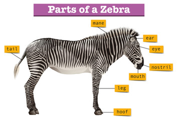 Diagram showing different parts of zebra