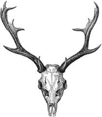 Vintage image deer skull, antlers