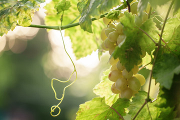 Fototapete - Bunch of ripe green grapes on the vine in the vineyard, sunny ev