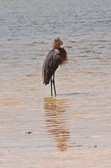 Great Blue Heron standing in tropical and polutted back bay water with ruffled feathers