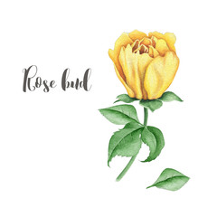 Watercolor floral image with yellow rose bud
