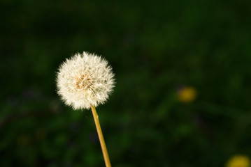 Dandelion in the late evening sun in full seed with a dark background