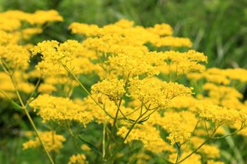 Golden lace flower