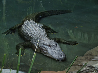 American Aligator in water
