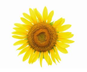 sunflower flower isolated on white