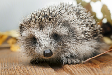 Young hedgehog in autumn leaves