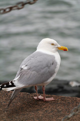Möwer, aufgenommen in Lyme Regis