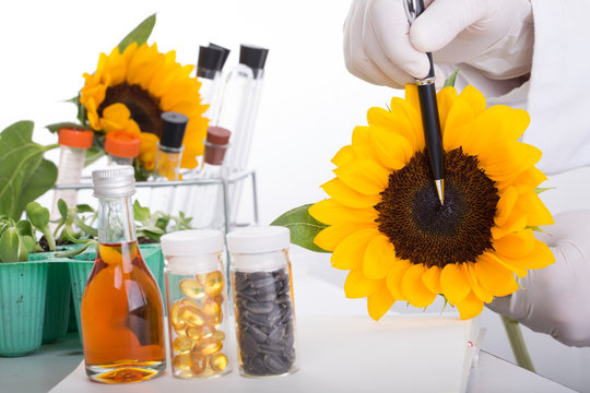 Scientists, oil extraction from sunflower in the lab.