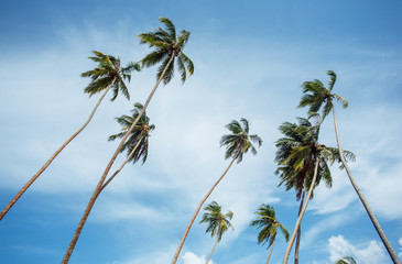Palm trees on the sky background of Sri Lanka