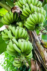 Unripe bananas in the jungle on banana tree