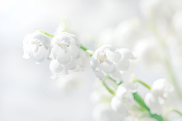 Lilies of the valley closeup