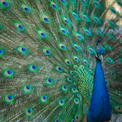 peacock feathers on the open tail in zoo