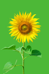 Isolated Detail Of A Sunflower With Green Background Copy Space