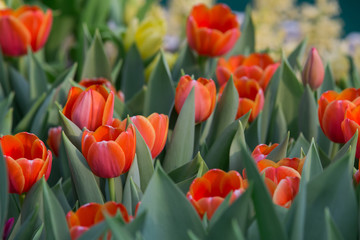 Beautiful color bouquet of tulips  in spring