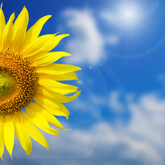 Beautiful yellow Sunflower  for background with blue sky
