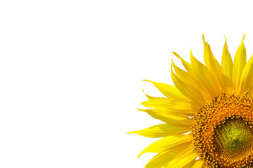 Beautiful yellow Sunflower isolated on white background
