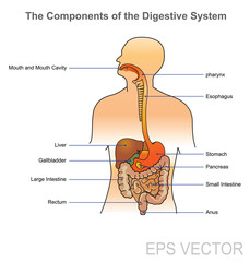 The human digestive system consists of the gastrointestinal tract plus the accessory organs of digestion (the tongue, salivary glands, pancreas, liver, and gallbladder).