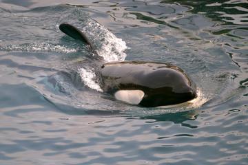 Wall Mural - Closeup a killer whale (Orcinus orca) swimming