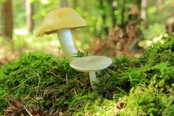 Dwa grzyby trujące w lesie, mech.