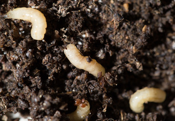 white fly larvae in the soil. macro
